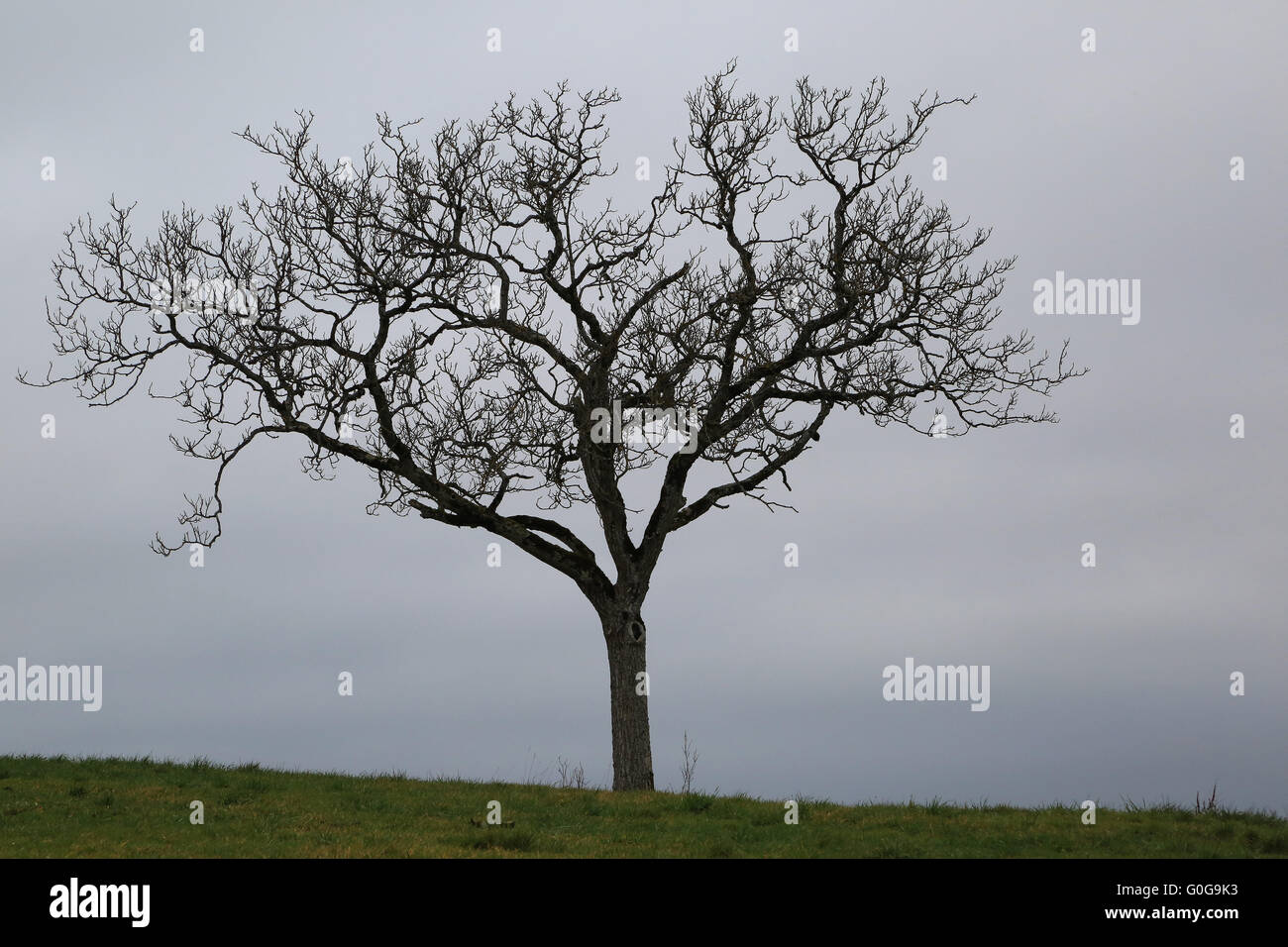 Walnut Tree Without Leaves Stock Photo
