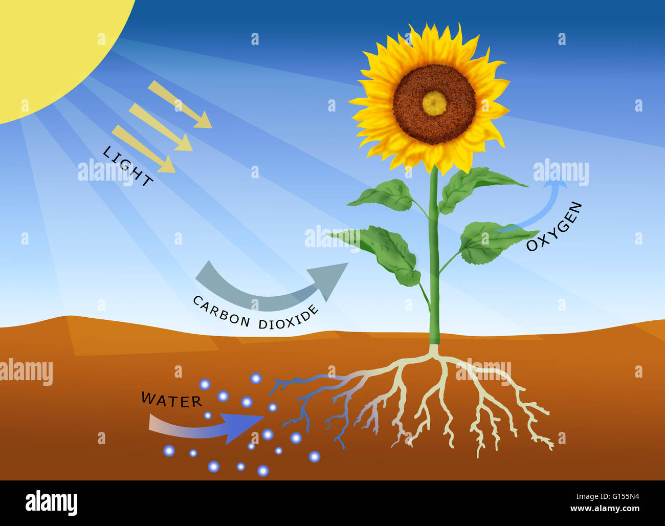 Photosynthesis Computer Artwork Photosynthesis Is The