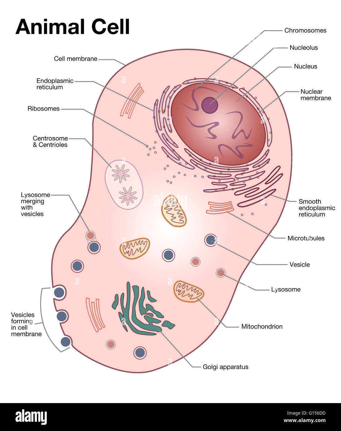 hight resolution of diagram of a typical animal cell with the important features labeled