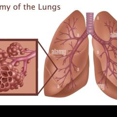 Lung Alveoli Diagram Where Are My Lymph Nodes The Gallery For Gt