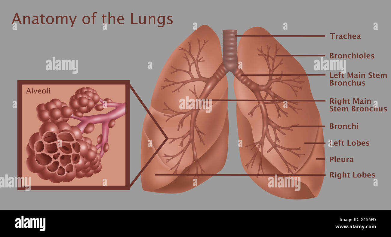 lungs human anatomy diagram dodge trailer wiring 7 pin anatomical illustration of the lungs, with (top to bottom) stock photo, royalty free image ...