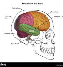 illustration of a human skull and brain with important sections labeled  [ 1300 x 1293 Pixel ]