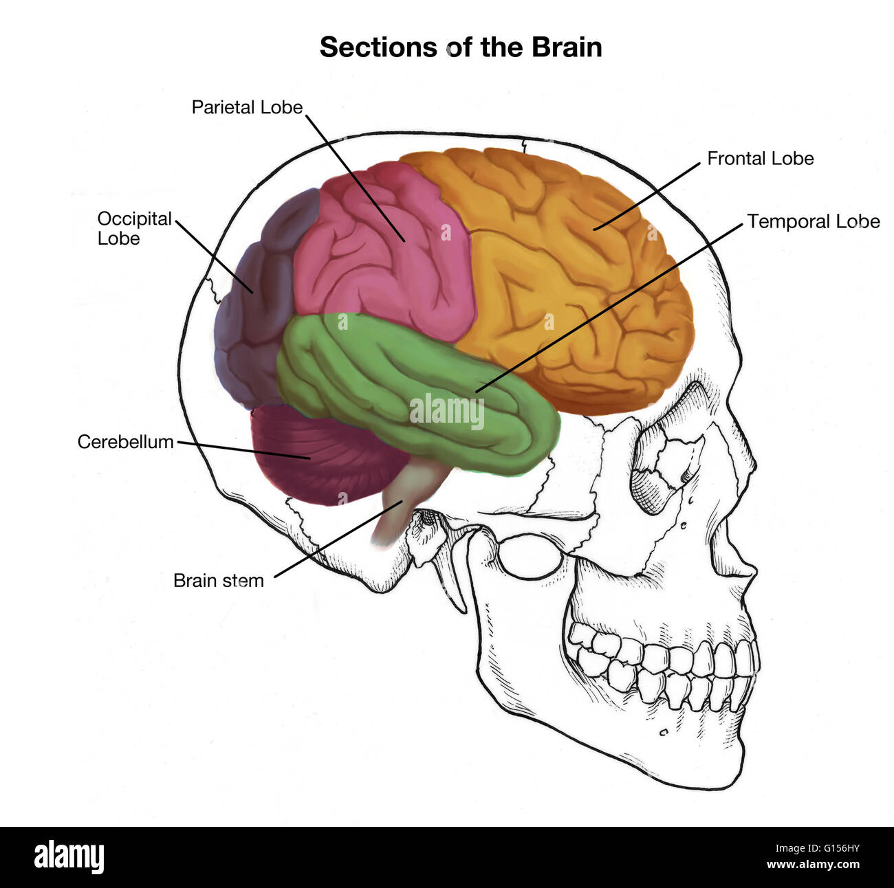 hight resolution of illustration of a human skull and brain with important sections labeled
