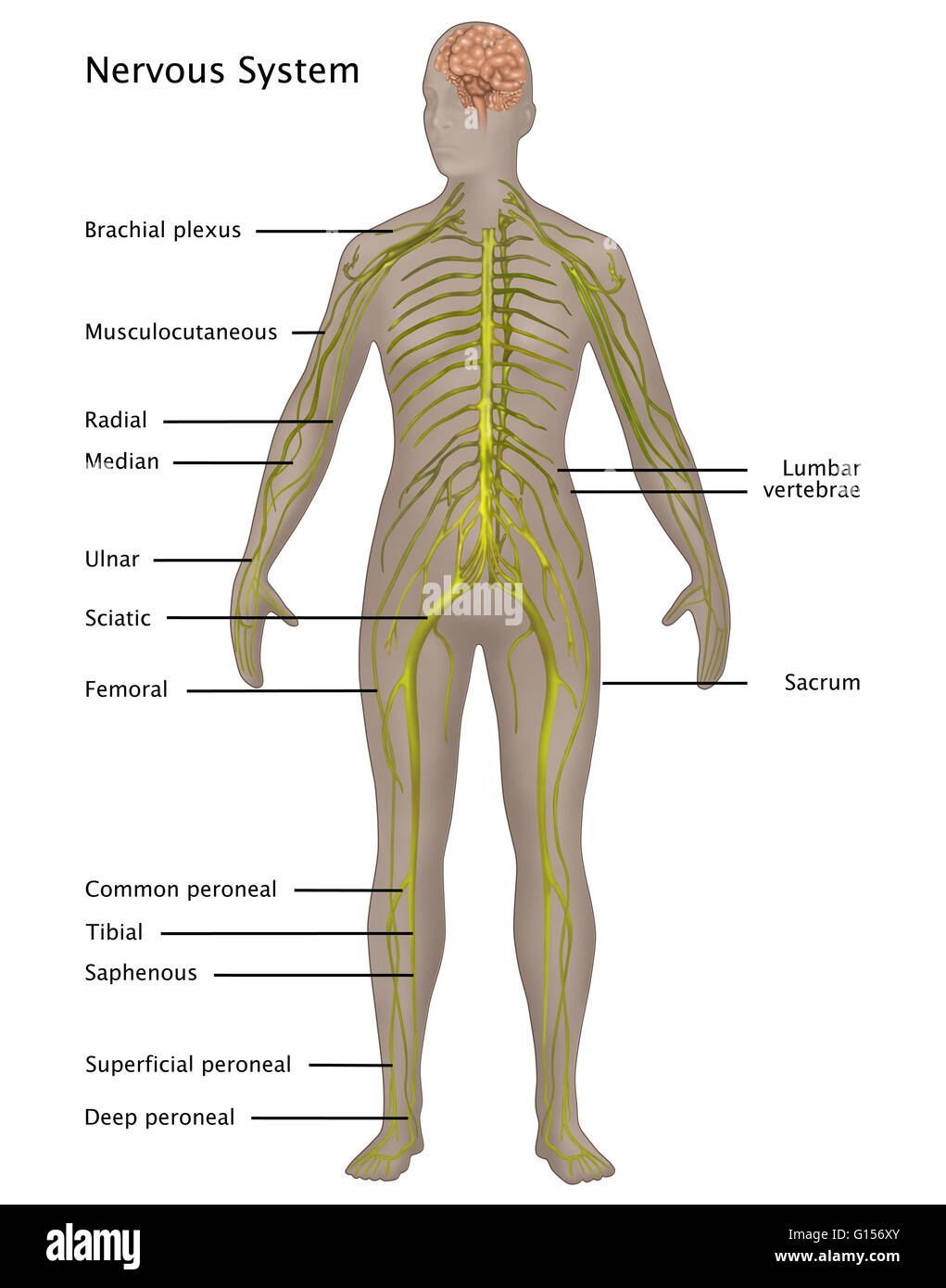 diagram of the nervous system labeled