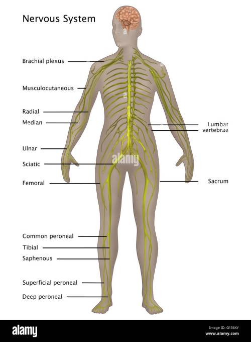 small resolution of illustration of the nervous system in the female anatomy labeled nerves from top to bottom