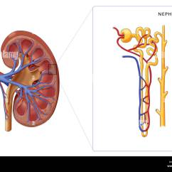 Bowman S Capsule Diagram Cub Cadet Ltx 1045 Parts Illustration Of The Structure A Nephron (the Basic Structural And Stock Photo: 103992132 - Alamy