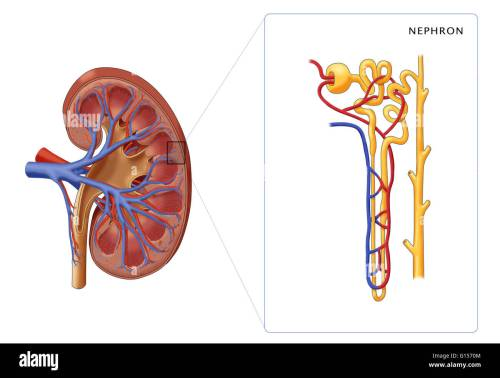 small resolution of illustration of the structure of a nephron the basic structural and functional unit of the