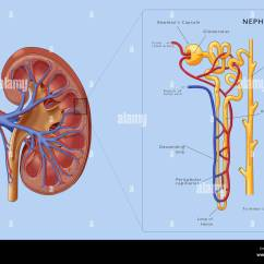 Bowman S Capsule Diagram Great White Shark Bowmans Stock Photos Images Alamy Illustration Of The Structure A Nephron Basic Structural And Functional Unit