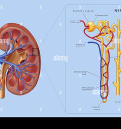 illustration of the structure of a nephron the basic structural and functional unit of the [ 1300 x 984 Pixel ]