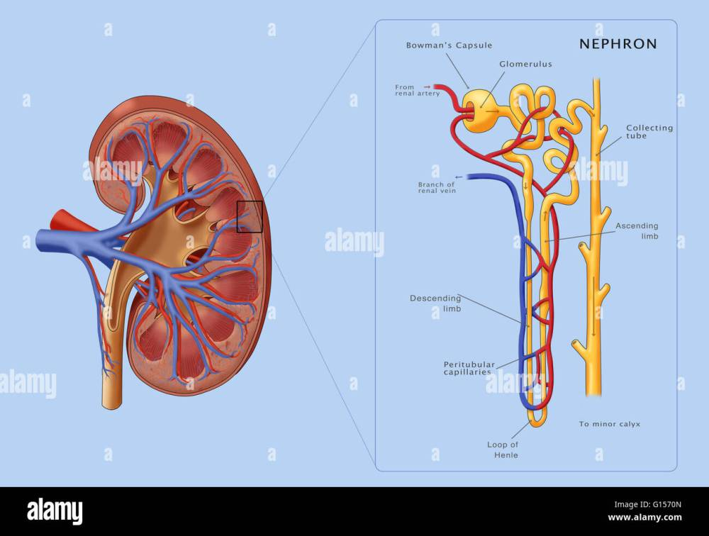 medium resolution of illustration of the structure of a nephron the basic structural and functional unit of the