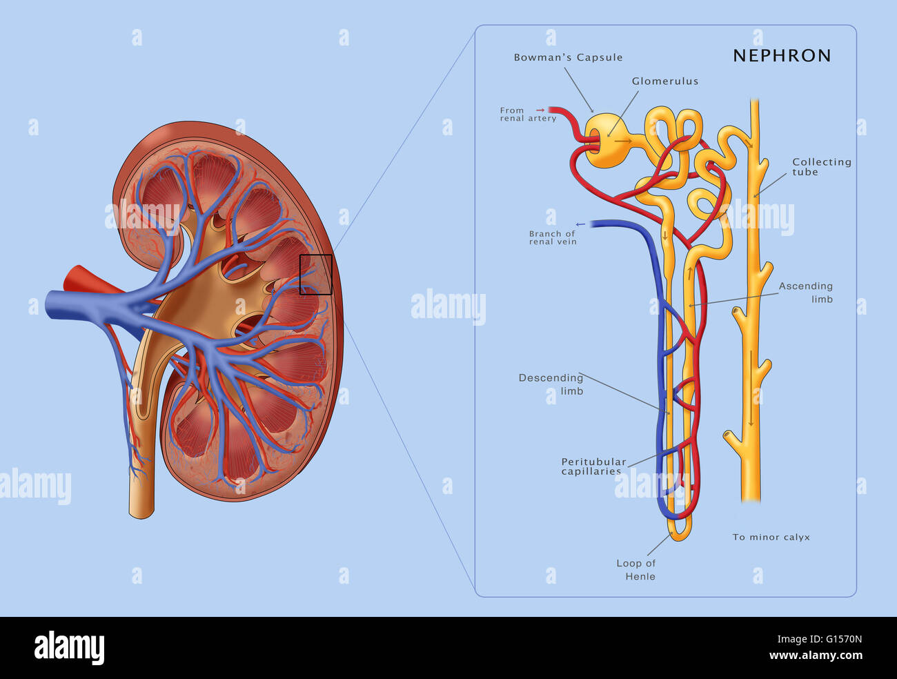 hight resolution of illustration of the structure of a nephron the basic structural and functional unit of the