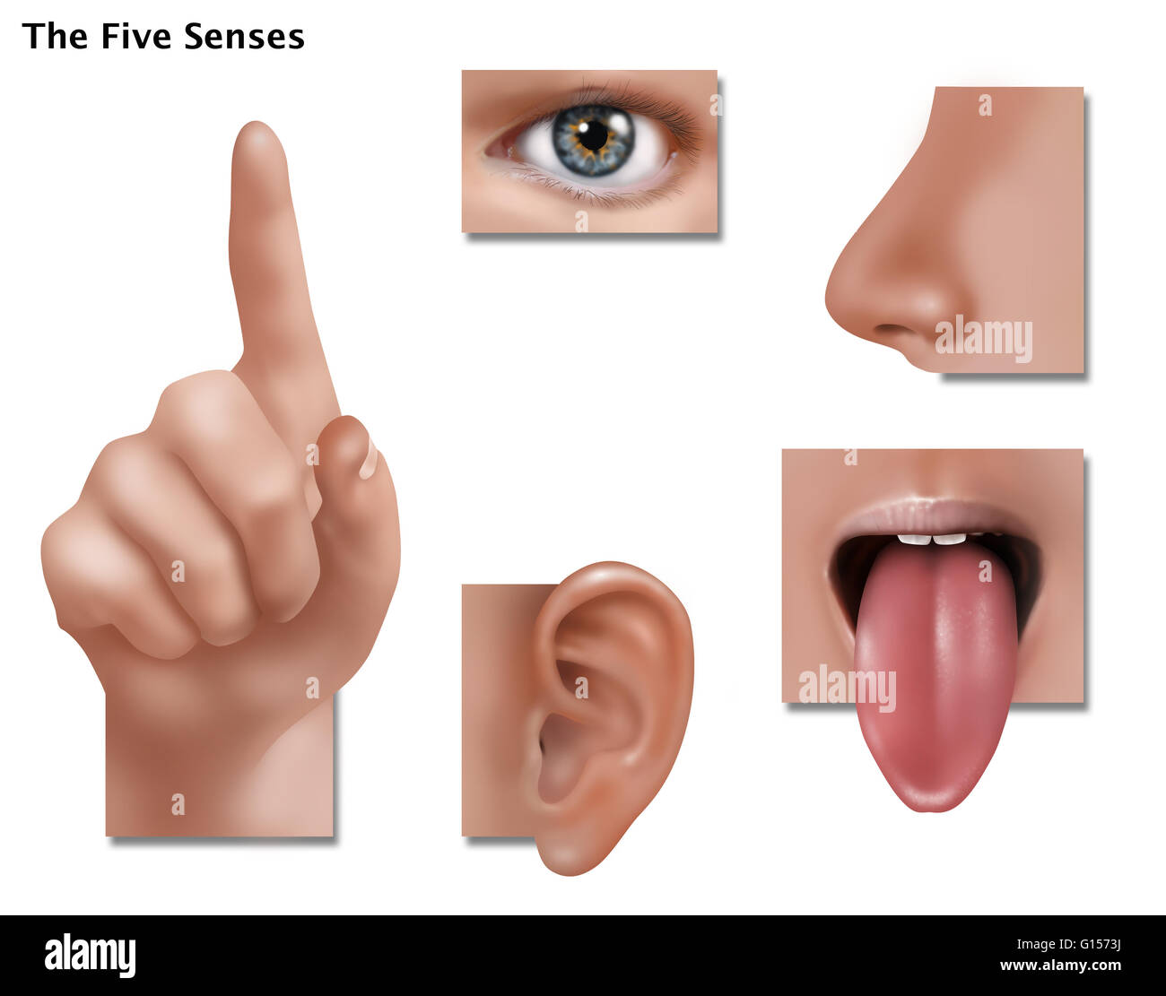 An Illustration Showing The Five Senses Touch Sight