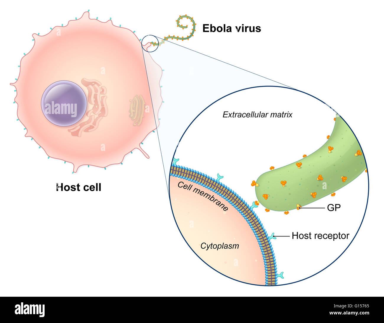 basic virus diagram 2016 honda civic airbag wiring an illustrated of the ebola replication