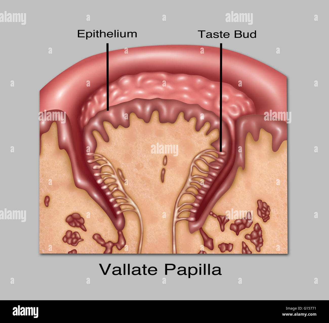 Vallate Papillae And Fungiform