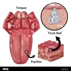 Diagram Of The Human Tongue And Taste Buds Fujitsu Ductless Split Wiring Illustration Depicting Anatomy At Left Is An