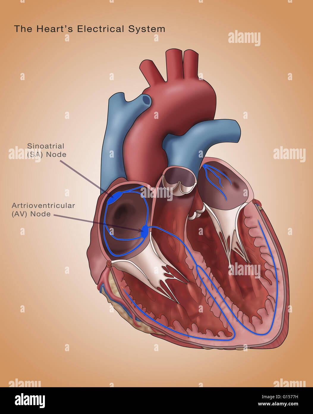 sinoatrial node diagram trailer electrical plug wiring heart system stock photos and