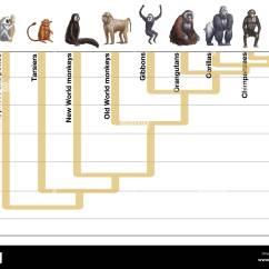 Human Evolution Tree Diagram Funny Flow Artwork Showing The Of
