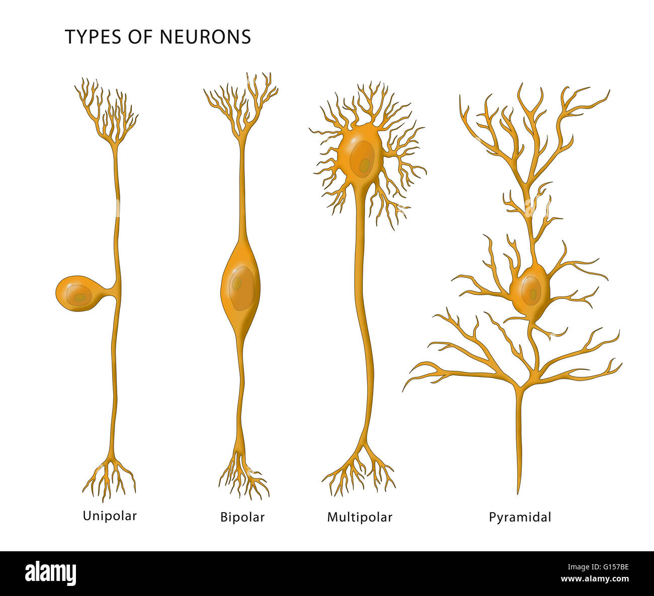 Illustration Showing The 4 Types Of Neurons From Left To