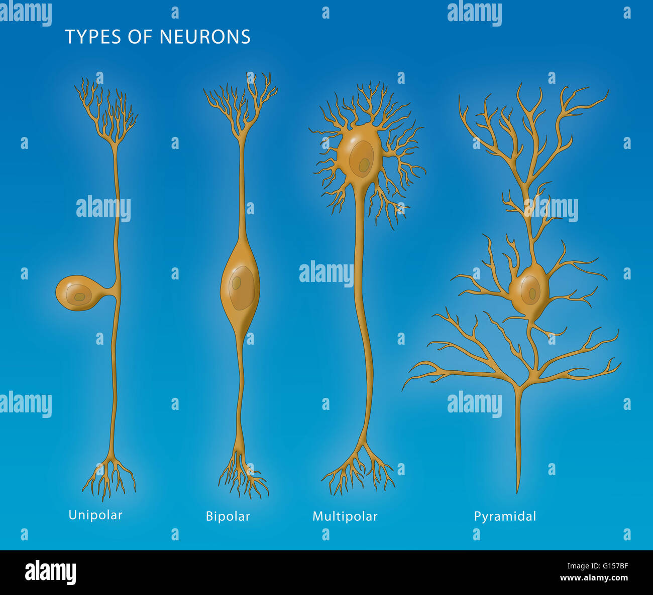 multipolar neuron diagram labeled triumph street triple r wiring illustration showing the 4 types of neurons from left to