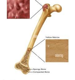 illustration of bone marrow top diagram shows red bone marrow bottom diagram shows yellow [ 1021 x 1390 Pixel ]