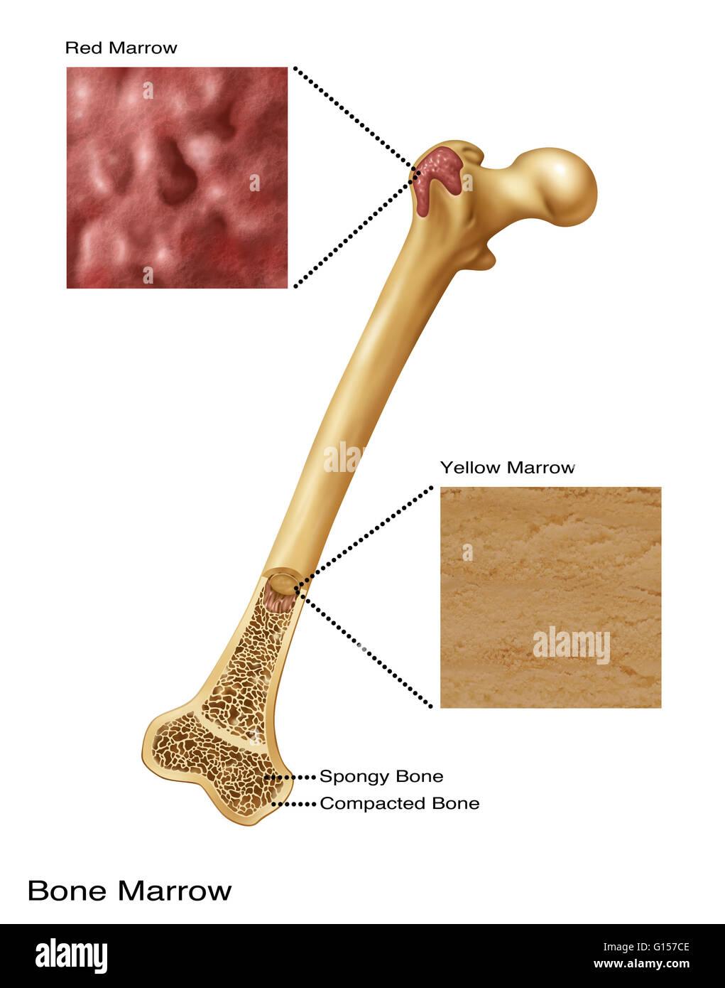 hight resolution of illustration of bone marrow top diagram shows red bone marrow bottom diagram shows yellow