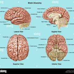 Human Brain Diagram Sagittal Wiring For 2 Way Light Switch Illustration Showing Anatomy Of A Normal In Lateral