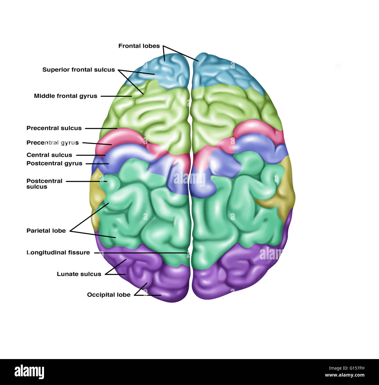 sheep brain superior view diagram wiring for air conditioner thermostat illustration showing anatomy of a normal in