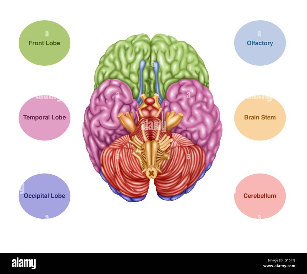 medium resolution of color coded brain depicting the following areas from an inferior rh alamy com human brain drawing parts of the brain diagram
