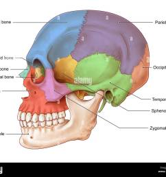 an illustration of the human skull from a lateral view the bones of the skull seen in this illustration are the frontal bone blue nasal bone teal  [ 1300 x 1094 Pixel ]