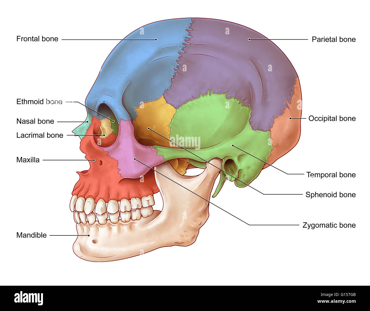 hight resolution of an illustration of the human skull from a lateral view the bones of the skull seen in this illustration are the frontal bone blue nasal bone teal