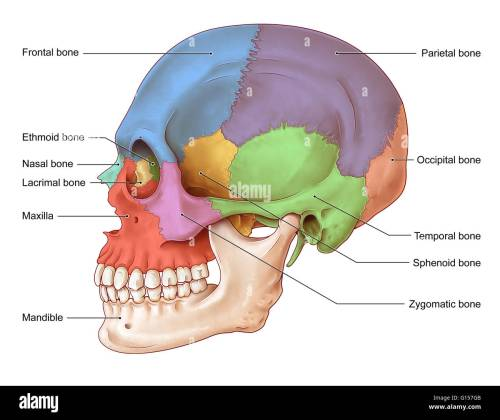 small resolution of an illustration of the human skull from a lateral view the bones of the skull seen in this illustration are the frontal bone blue nasal bone teal
