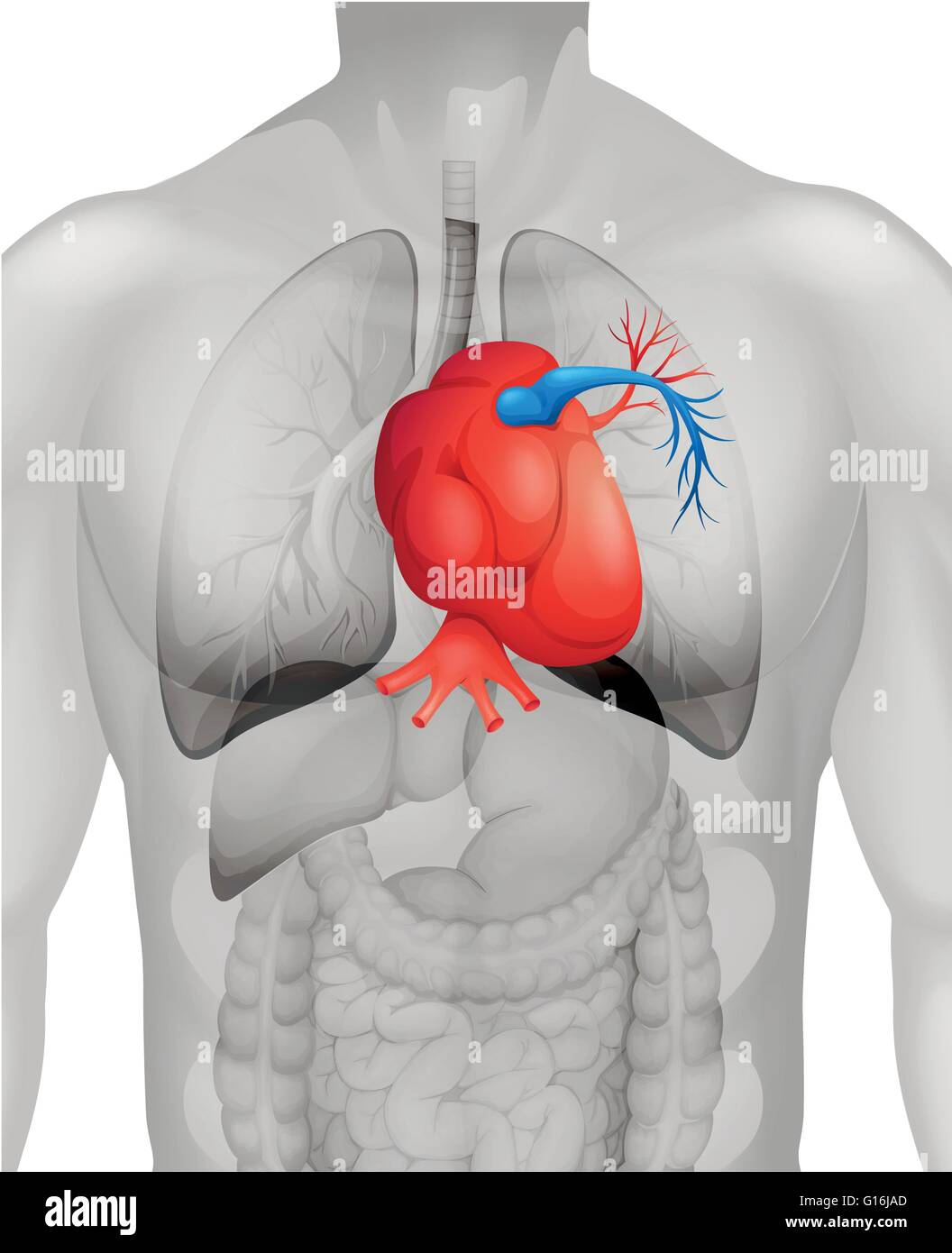 hight resolution of human heart diagram in detail illustration stock image