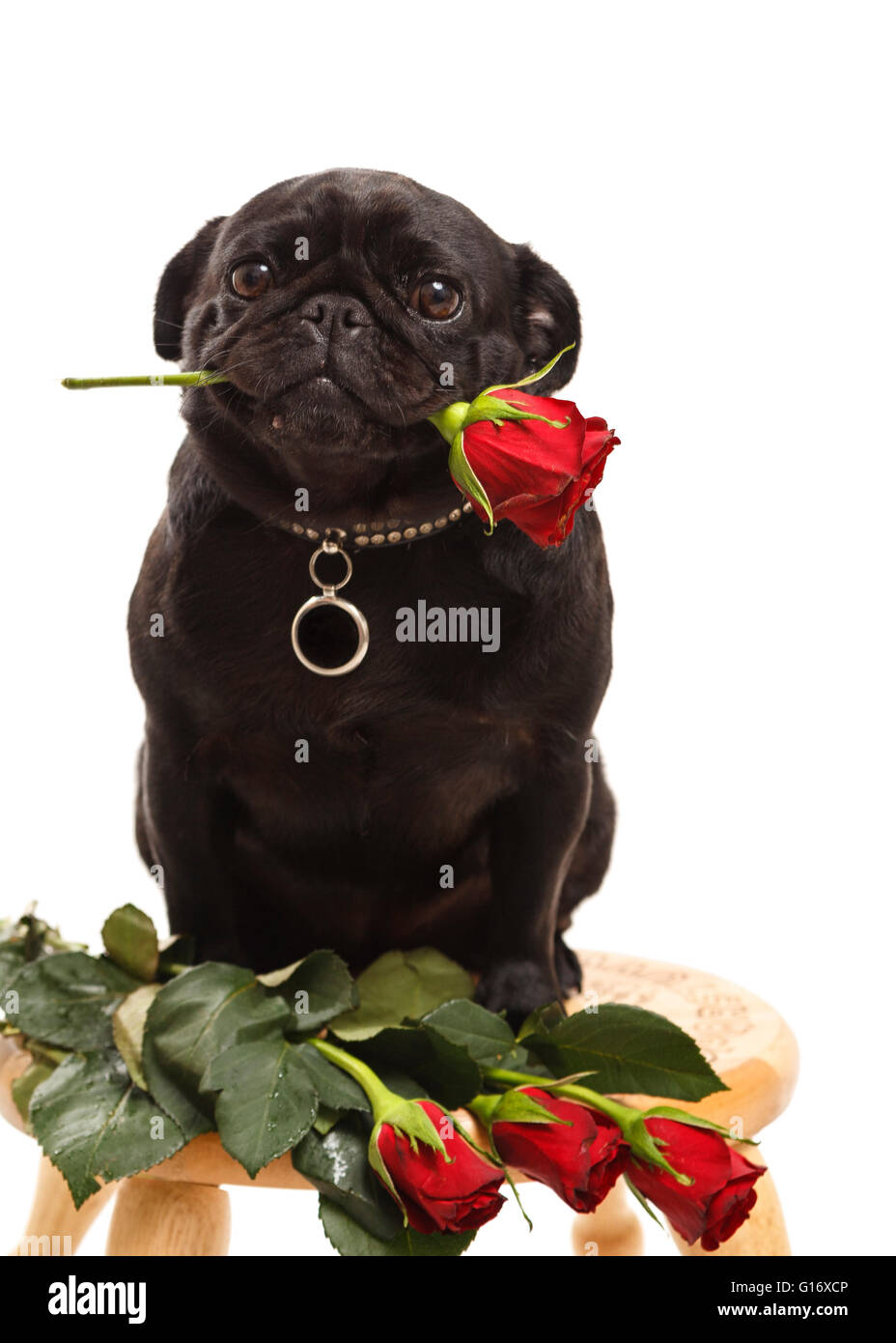 Small Black Cute Female Pug Puppy Dog Holding Red Rose