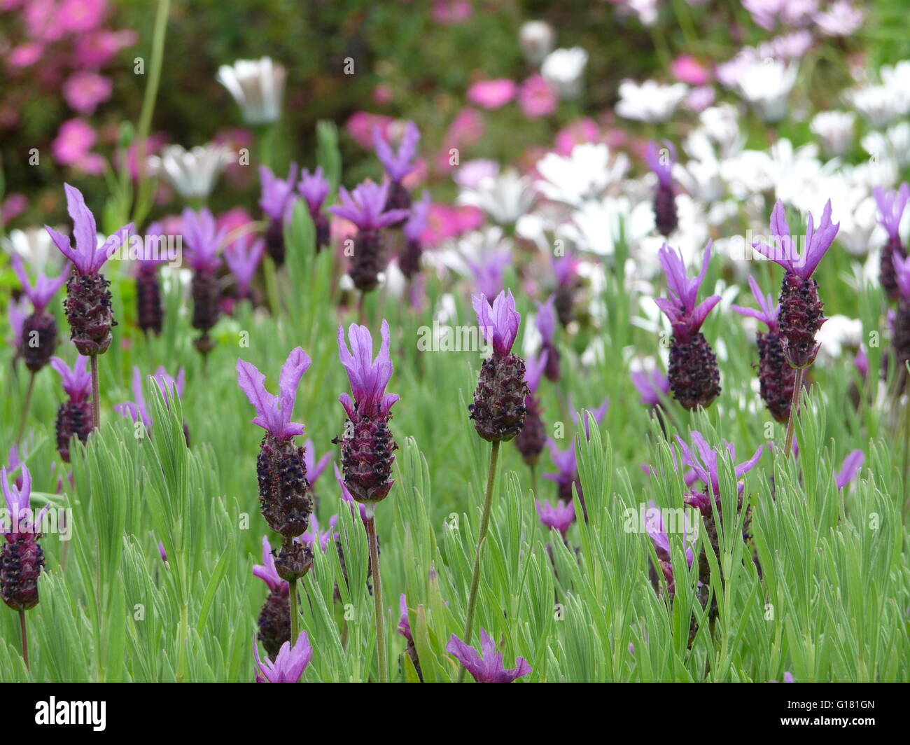 About Lavender Plants (with Pictures)