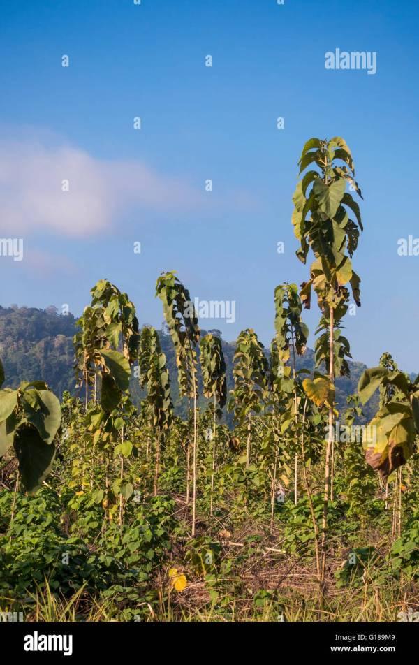 Worlds Oldest Teak Tree - Year of Clean Water