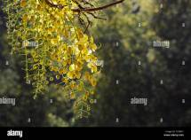 Golden Shower Tree India Stock &