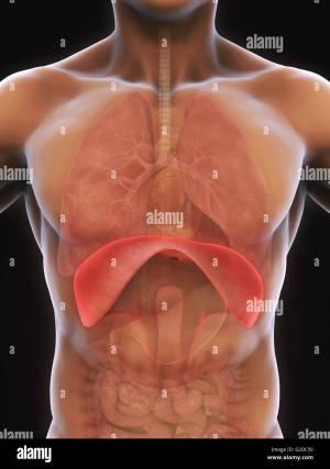 Human Diaphragm Anatomy Stock Photo: 104786444  Alamy