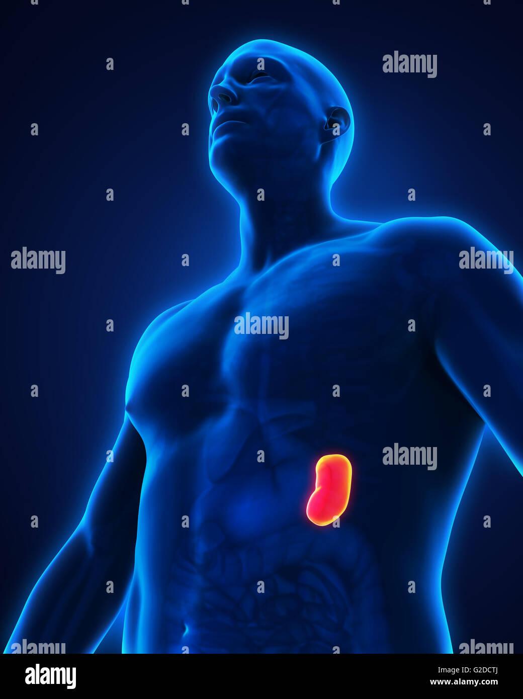 Human Spleen Anatomy Stock Photo