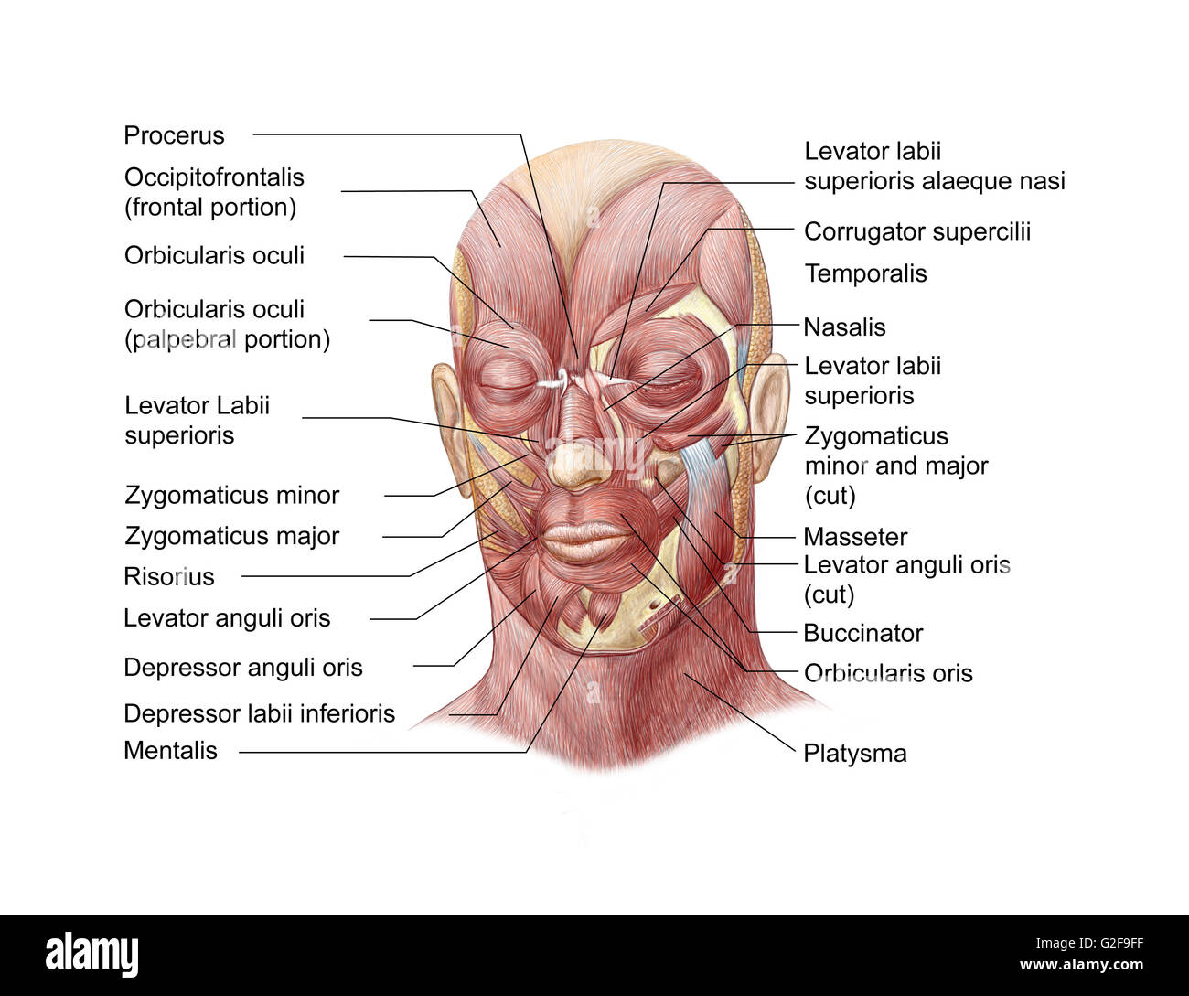 hight resolution of facial muscles of the human face with labels