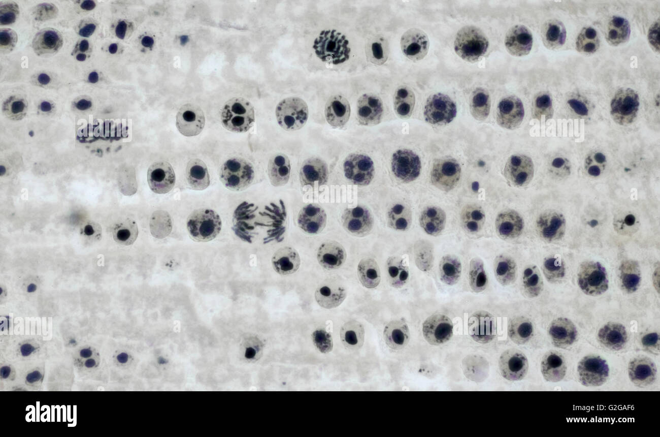hight resolution of mitosis cell division in onion root tip brightfield photomicrograph stock image