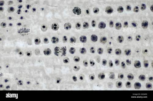 small resolution of mitosis cell division in onion root tip brightfield photomicrograph stock image