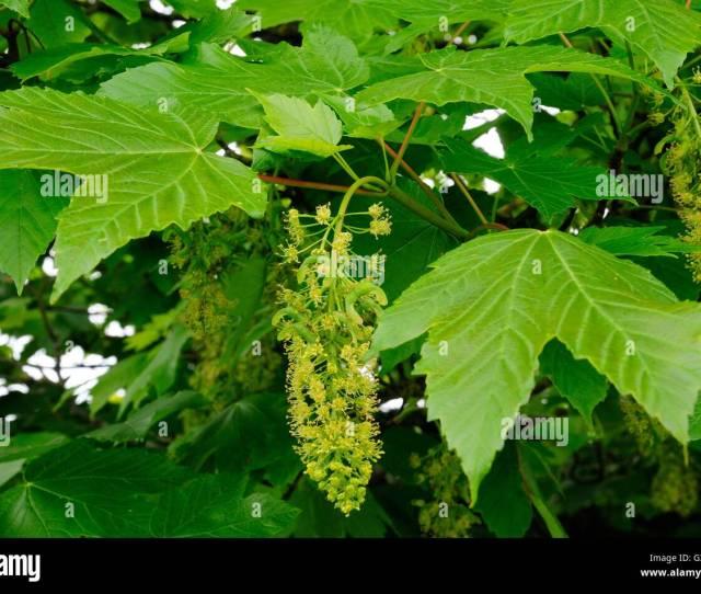 Sycamore Tree Flowers Acer Pseudoplatanus