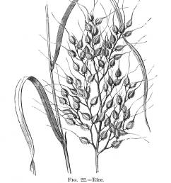 a detailed engraving of rice showing how it grows on the plant date 19th [ 1083 x 1390 Pixel ]