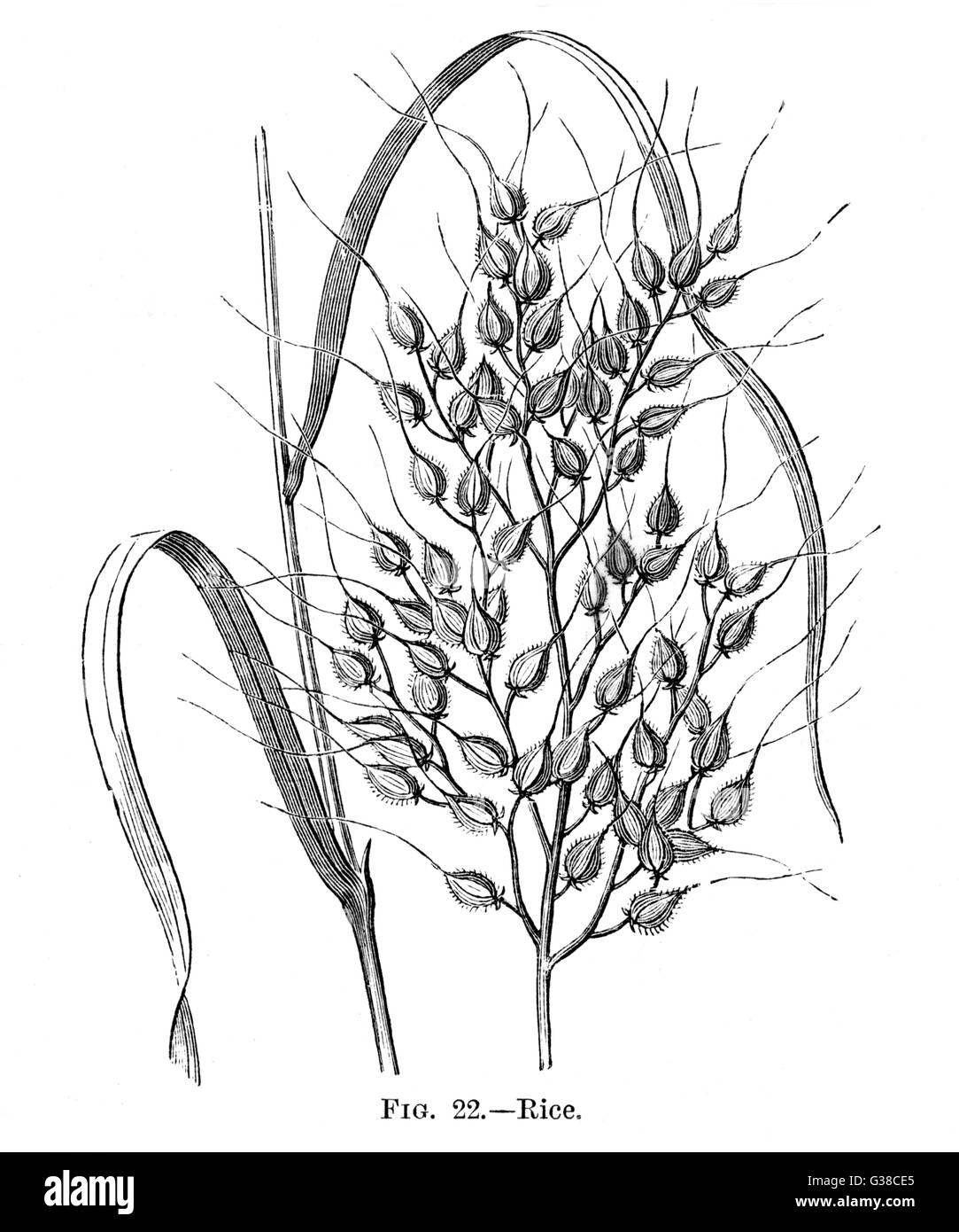 hight resolution of a detailed engraving of rice showing how it grows on the plant date 19th