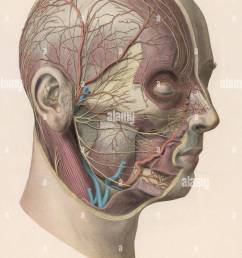 detailed diagram showing muscles and veins inside of the head date circa 1900 [ 959 x 1390 Pixel ]