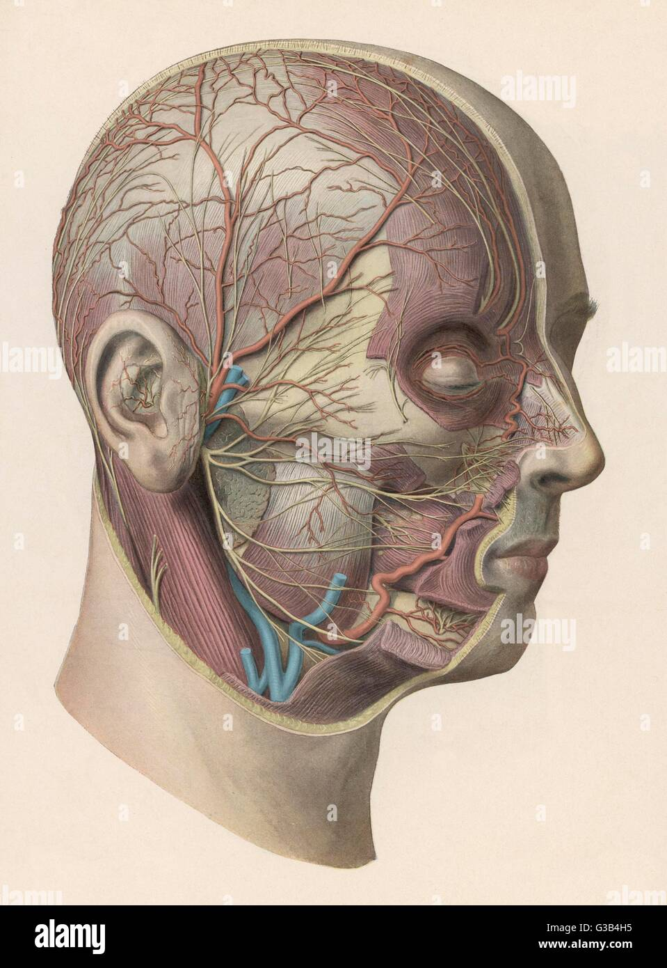 hight resolution of detailed diagram showing muscles and veins inside of the head date circa 1900