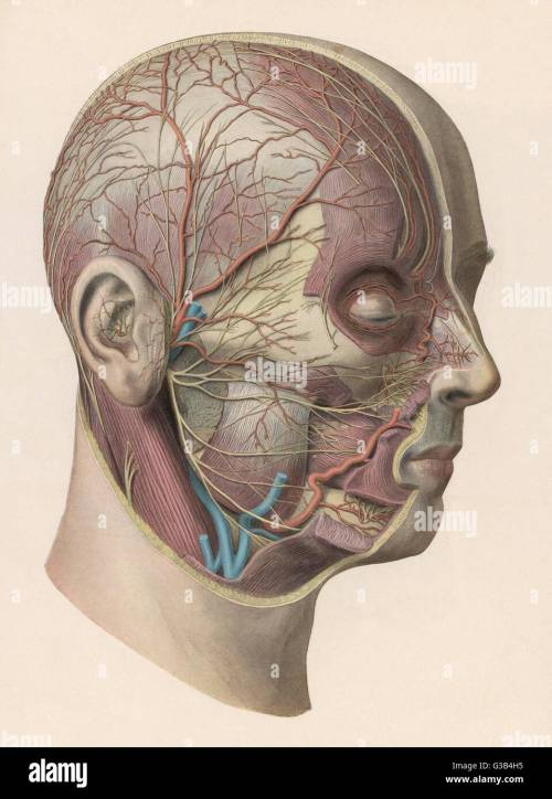small resolution of detailed diagram showing muscles and veins inside of the head date circa 1900