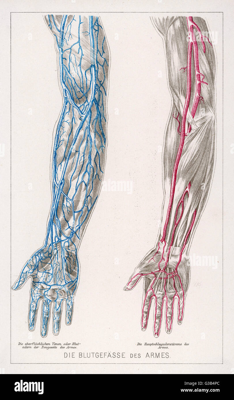 hight resolution of diagram to show the network of veins and arteries in the arms