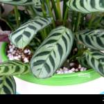 Indoor Plant Calathea Concinna Or Known As Zebra Plant Peacock Stock Photo Alamy
