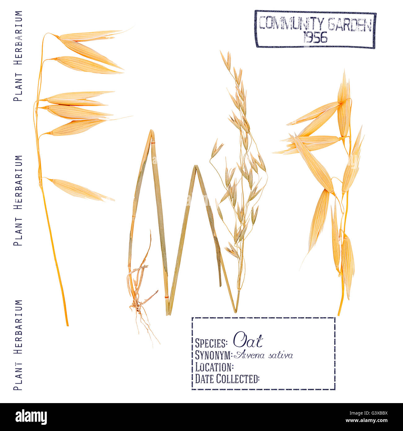 hight resolution of pressed herbarium plant parts oat leaves stems roots ear and grain isolated